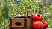 Посев томатов на рассаду по Лунному календарю-2016