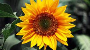Семена подсолнечника/подсолнуха Українсье сонечко (90-95 дней), устойчив к заризихе (А-Е)