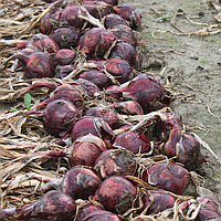 Ред Барон семена лука (Bejo, Нидерланды)