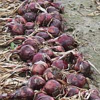Ред барон семена лука (Semenaoptom, Украина)