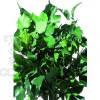 Плющ ветви (зеленый)