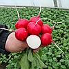 ПОКЕР - семена редиса, 50 грамм, Bejo Zaden