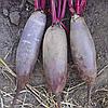 ТАУНУС F1 - семена свеклы столовой PR, 50 000 семян, Bejo Zaden
