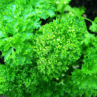 ПЕТРА - семена петрушки кучерявой, 50 грамм, Bejo Zaden, фото 1