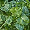 СПИРОС F1 - семена шпината, 50 000 семян, Bejo Zaden
