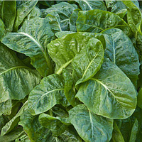 СПИРОС F1 - семена шпината, 50 000 семян, Bejo Zaden, фото 1