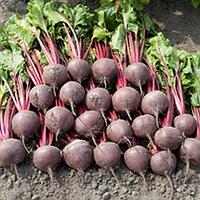 БОРО F1 - семена свеклы столовой PR, 50 000 семян, Bejo Zaden, фото 1
