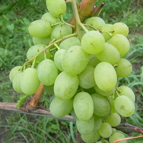 Виноград Новый Подарок Запорожью (НПЗ)