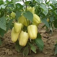 Подарок Молдовы семена перца сладкого (Semenaoptom, Украина)