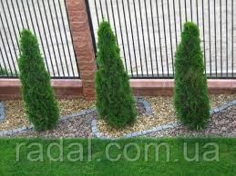 Туя западная Смарагд Р9 16-20(Thuja occidentalis Smaragd )