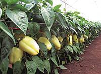 Перец Квадри F1 SEMO 1000 семян, фото 1