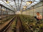 Фирма «Асприя Сидз» все усовершенствовать собственную селекцию подсолнечника и кукурузы.