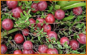 клюква садовая крупноплодная