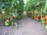 Томат Президент F1 для теплиц семена раннего высокоурожайного индетерминантного гибрида (10 сем. в пачке)