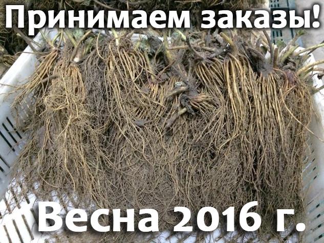 Принимаем заказы на саженцы клубники FRIGO весна 2016 !