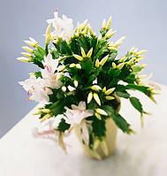 ШЛЮМБЕРГЕРА БЕЛЫЙ - молодое растение 15-20см., фото 1
