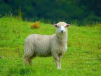 Полезные свойства овечьей шерсти и шкур
