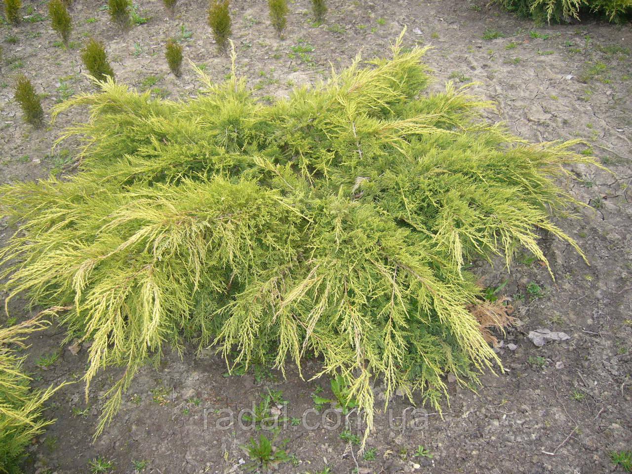 Можжевельник средний Голд Стар Р9 (Juniperus media Gold Star)