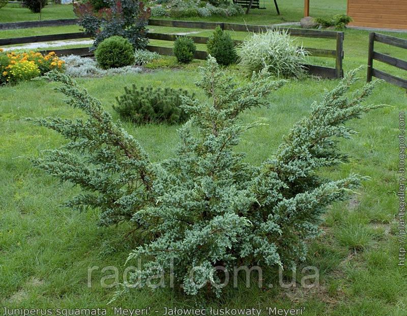 Можжевельник Чешуйчатый Мейери P9 (Juniperus squamata Meyeri)