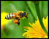 История о труженице. Медоносная пчела