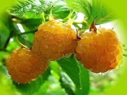 Саженцы малины - желтые сорта