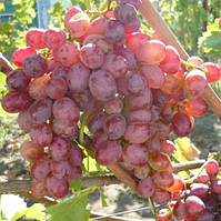 Виноград кишмиш Червоний палець (вегетуючих)