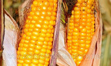 Амарок семена кукурузы ВНИС