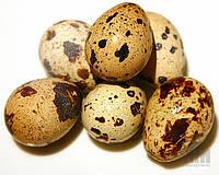"""Инкубационное яйцо """"Техасский альбинос"""""""