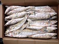 Судак  мелкий свежемороженый 150-300 гр.