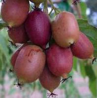 Саженцы актинидии Пурпурная (киви) в 1л. контейнере, фото 1