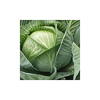 Трансфер F1 семена капусты белокочанной (Semenaoptom, Украина)