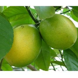 Саженцы цитрусовых деревьев
