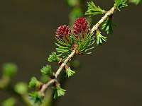 ЛИСТВЕННИЦА ЯПОНСКАЯ (Larix Leptolepsis), фото 1