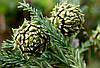 КЕДР КРАСНЫЙ ЯПОНСКИЙ или КРИПТОМЕРИЯ (Cryptomeria Japonica)