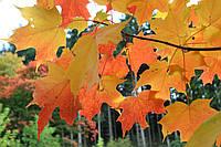 КЛЕН САХАРНЫЙ (Acer Saccharum), фото 1
