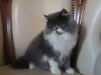 Персидские кошки котята Украины