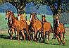 Пазлы Castorland на 1500 деталей Табун