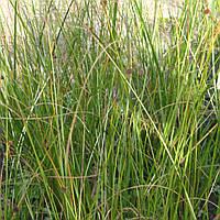 Голосхенус обыкновенный - Holoschoenus vulgaris