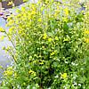 Губастик желтый - Mimulus luteus