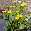 Калюжница болотная Ауенвальд(желтая,высокая) - Caltha palustris Auenvald