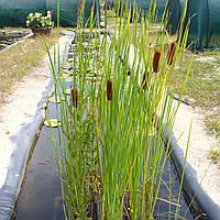 Рогоз изящный - Typha gracillis