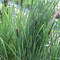 Рогоз широколистный - Typha latifolia