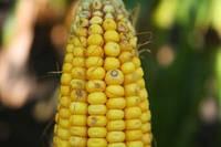 Экспорт кукурузы из Америки достигает минимума