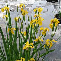 Ирис аировидный - Iris pseudacorus