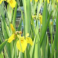 Ирис аировидный Вариегата - Iris pseudacorus Variegata