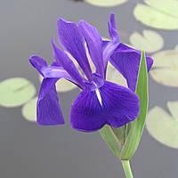 Ирис гладкий - Iris laevigata