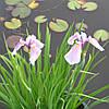 Ирис гладкий Розэ Куин - Iris laevigata Rose Queеn