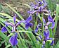 Ирис разноцветный - Iris versicolor, фото 2