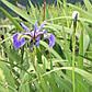 Ирис разноцветный - Iris versicolor, фото 3