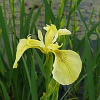 Ирис аировидный Бастарда - Iris pseudacorus bastardii